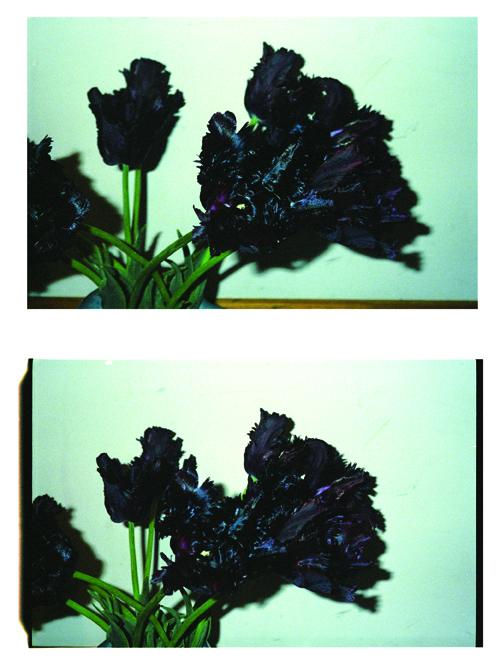 Blacktulips2