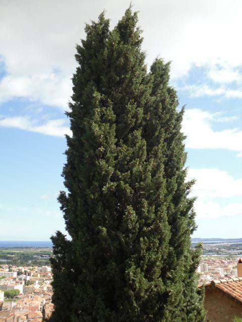 Tree in Hyeres