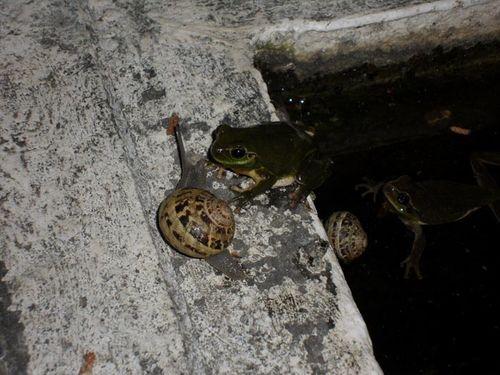 Snail frogs