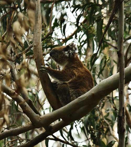 Koalas in wild 2