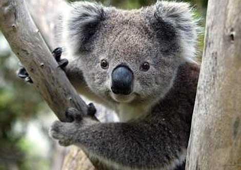 تعرف معنا علي حيوان الكوالا حيوان غريب بصور
