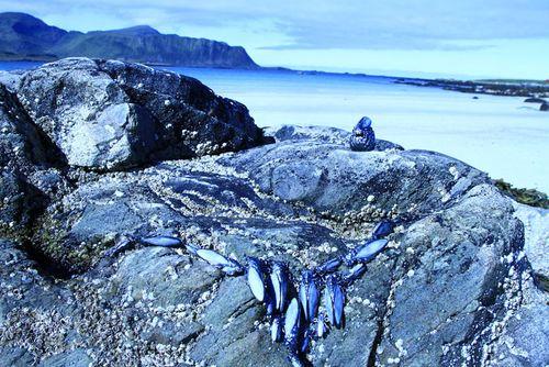 Vernissage lethargy at lofoten islands
