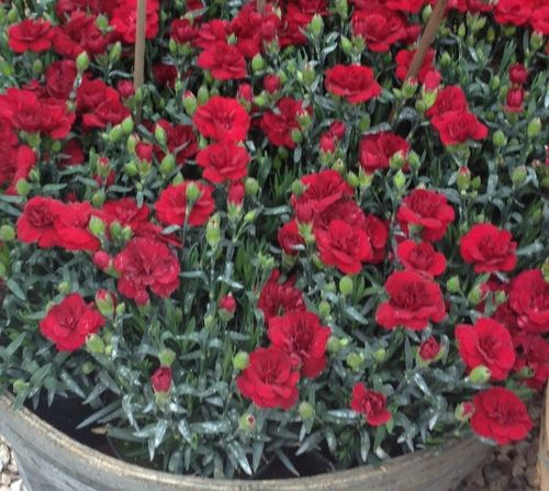 Floracult 2013 carnation