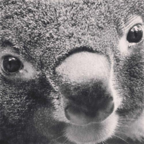 Cup koala