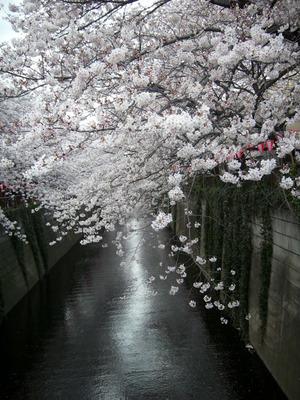 Some_more_sakura